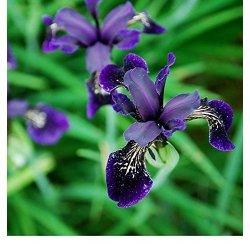 Fiore - Iris chrysographes Nero Oro - 10 Semi