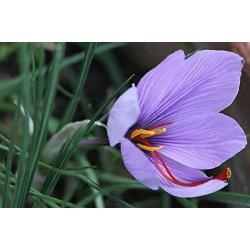 500 bulbi di CROCO DA ZAFFERANO (Crocus sativus)...