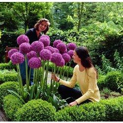 Aglio gigante (Allium Giganteum) - 30 semi /...